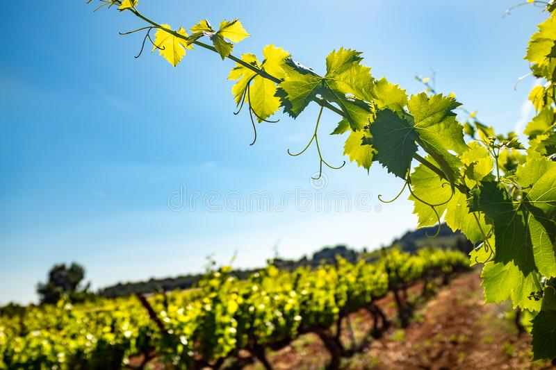 Grapevine leaves in vineyard against blue sky. stock images