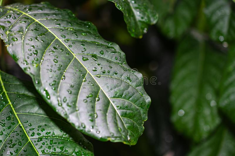 Close-up detail of green leaves of the coffee plant with water drops, with unfocused background royalty free stock photos