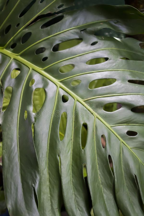 Close Up Detail Green Monstera Leaf. Close up green Monstera leaf with shapes and texture in leaf stock photo