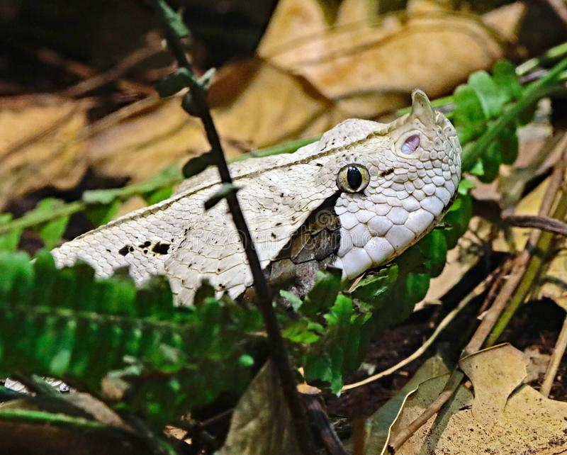Camouflaged Venomous Gaboon Viper. Close up detail of large African snake with deadly venom laying on forest floor royalty free stock photos