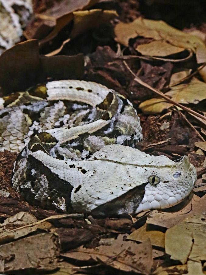 Camouflaged Venomous Gaboon Viper. Close up detail of large African snake with deadly venom laying on forest floor royalty free stock image