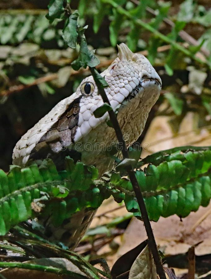 Camouflaged Venomous Gaboon Viper. Close up detail of large African snake with deadly venom laying on forest floor stock photos