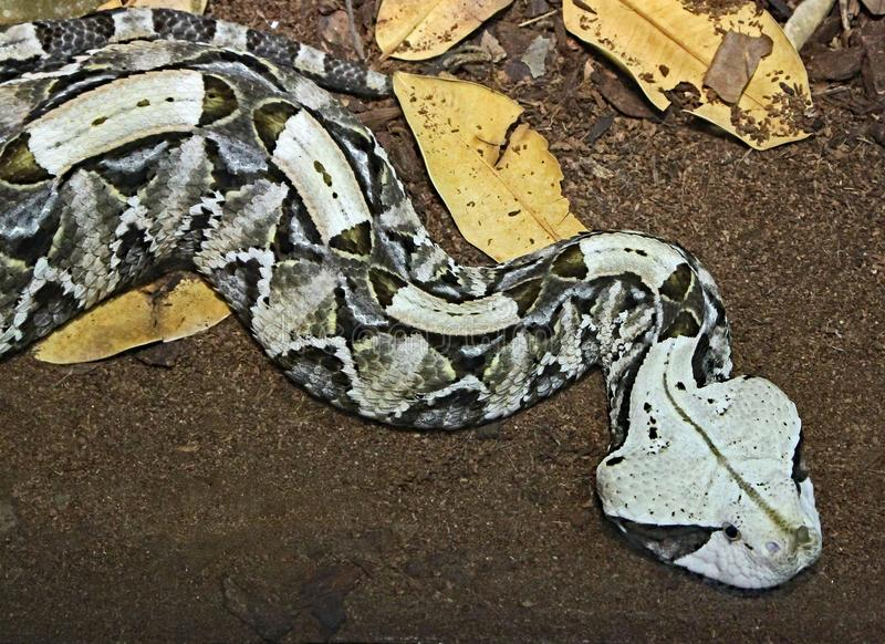 Camouflaged Venomous Gaboon Viper. Close up detail of large African snake with deadly venom laying on forest floor stock photography