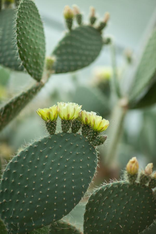 Free Close Up Detail Of Beautiful Opuntia, Prickly Pear Cactus With Yellow Blossom Stock Photos - 118989343