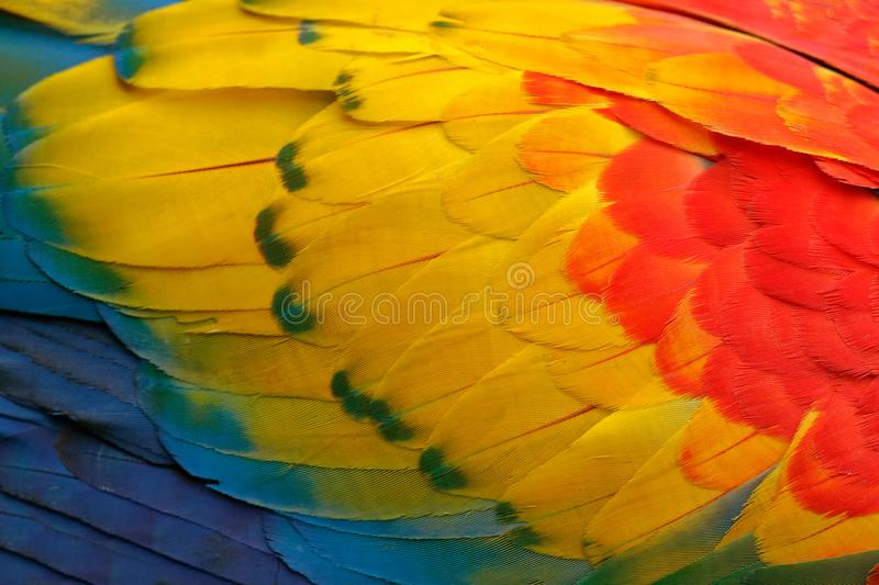 Close-up detail of parrot plumage. Scarlet Macaw, Ara macao, detail of bird wing, nature in Costa Rica. Red, yellow and blue feath. Ers stock photography
