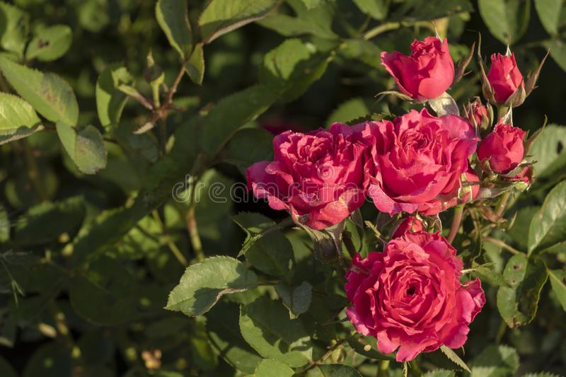 Close-up detail of pink rose bush with green leaves on background with copy space for text. Closeup detail of pink rose bush with green leaves on background royalty free stock photography
