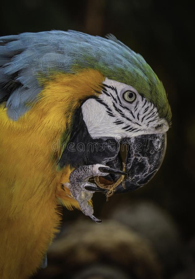 Macaw Parrot. Close up detail portrait of blue and gold parrot with foot and beak royalty free stock photos