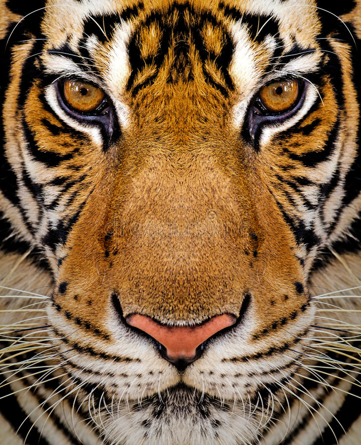 Close-up detail portrait of tiger. Beautiful face portrait of tiger. Striped fur coat royalty free stock images