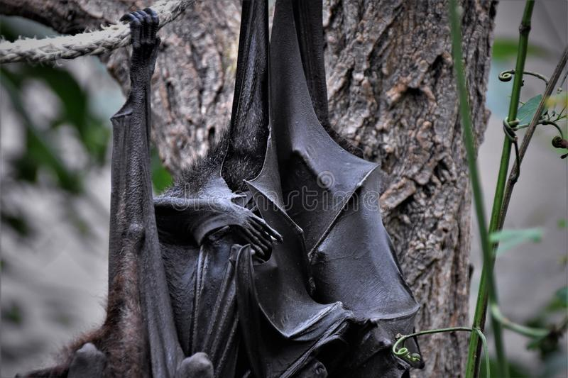 Close up detail of Pteropus are commonly known as fruit bats or flying foxes hanging from the rope stock photography