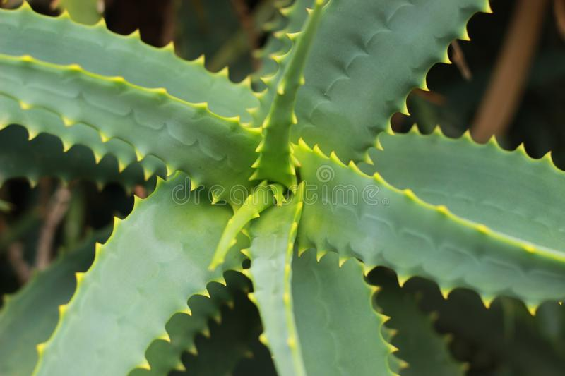 Close up detail of the textures and colors on a large succulent aloe plant, spiraling out from the centre with fresh growth coming. Thru stock images