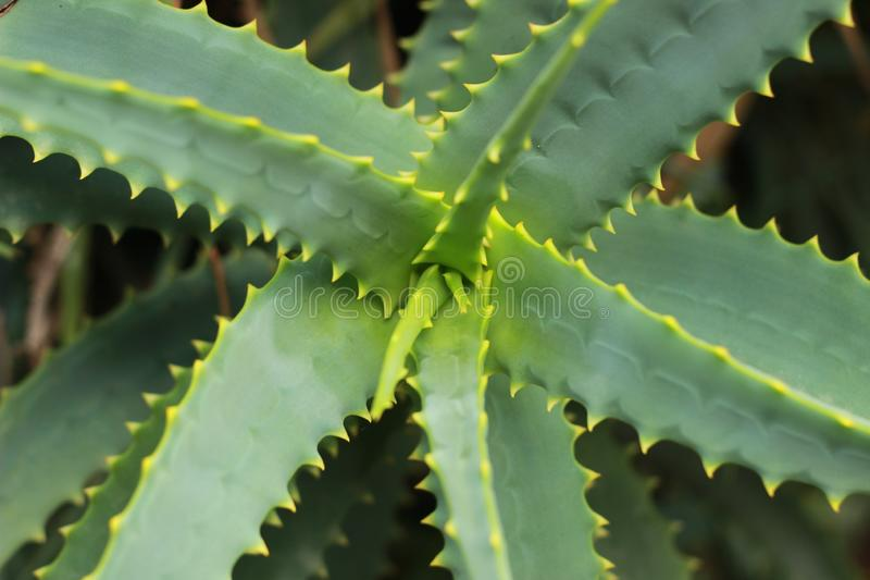 Close up detail of the textures and colors on a large succulent aloe plant, spiraling out from the centre with fresh growth coming. Thru stock image