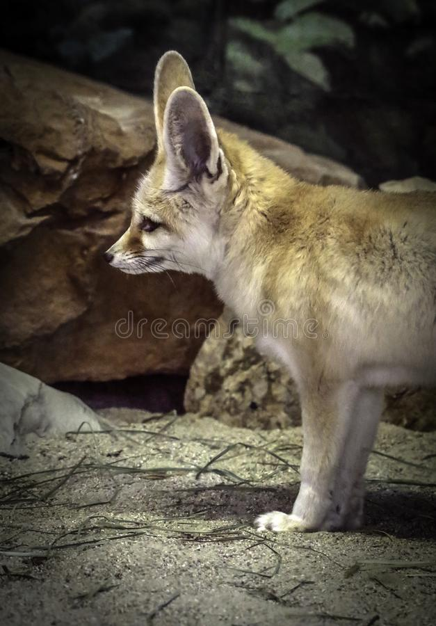 Fennec Fox. Close up detail of tiny North African, Asian canid looking left stock photography