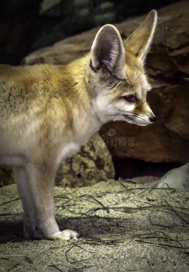 Fennec Fox. Close up detail of tiny North African, Asian Canid looking right royalty free stock photos