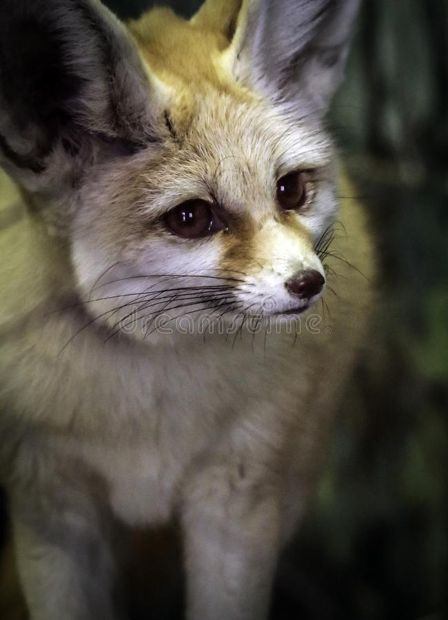 Fennec Fox. Close up detail of tiny North African, Asian Canid looking right stock image
