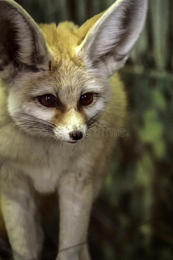 Fennec Fox. Close up detail of tiny North African, Asian Canid looking right stock images