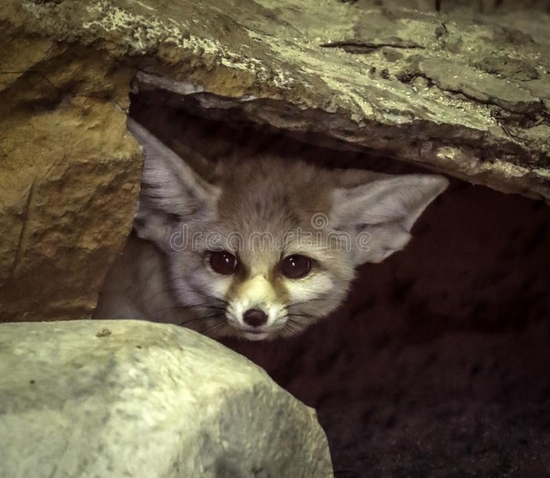 Fennec Fox. Close up detail of tiny North African, Asian Canid looking at viewer royalty free stock images