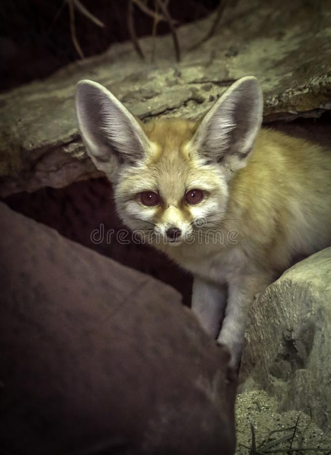 Fennec Fox. Close up detail of tiny North African, Asian Canid looking at viewer royalty free stock image