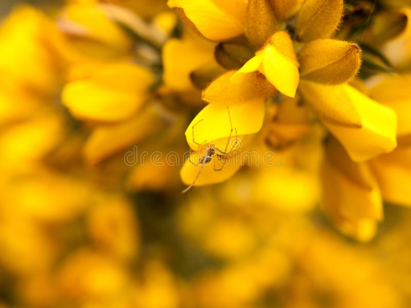 close up detail of yellow gorse broom flower heads macro with spider royalty free stock image
