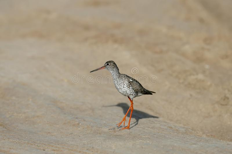 Close-up and detailed photo of the common redshank or simply redshank Tringa totanus royalty free stock images