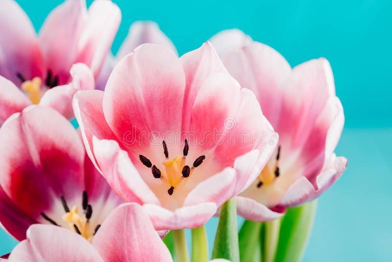 Close-Up Details Of Pink Tulip Flower royalty free stock photography