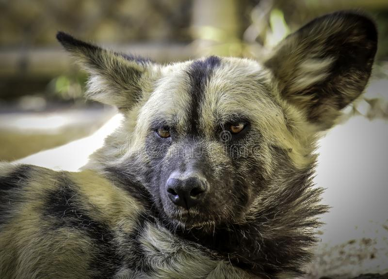 African Painted Dog. Close up details of wild dog of Africa stock images