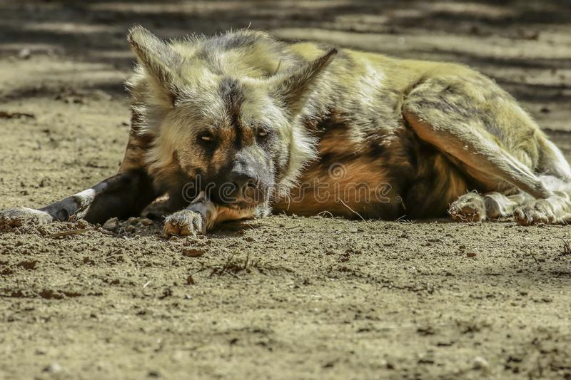 African Painted Dog. Close up details of wild dog of Africa stock photos