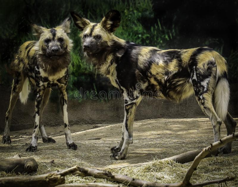 African Painted Dogs. Close up details of wild dog of Africa royalty free stock image