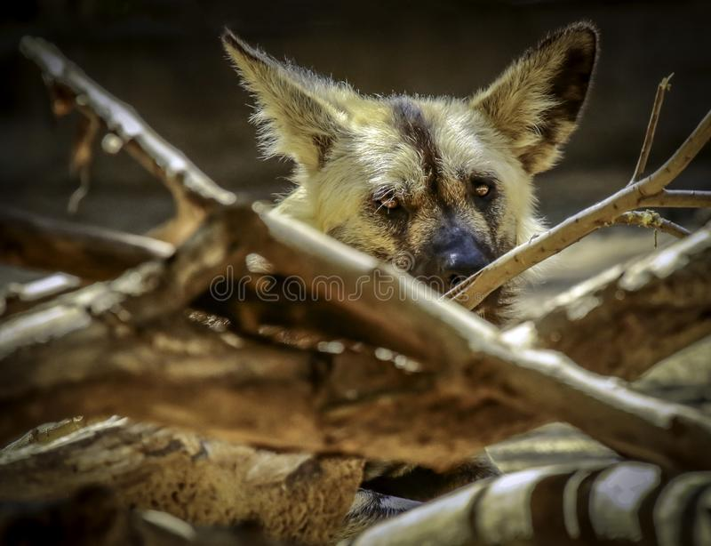 African Painted Dogs. Close up details of wild dog of Africa stock photos