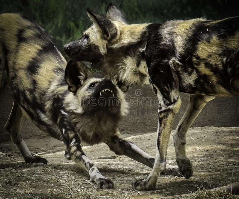 African Painted Dogs. Close up details of wild dog of Africa stock image