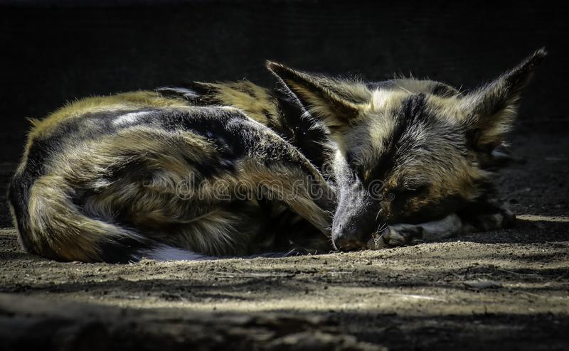 African Painted Dog. Close up details of wild dog of Africa sleeping stock photos