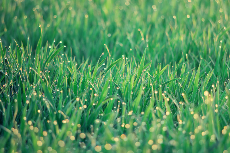 Close up of dew drops on the green grass. Retro pastel color filter royalty free stock photo