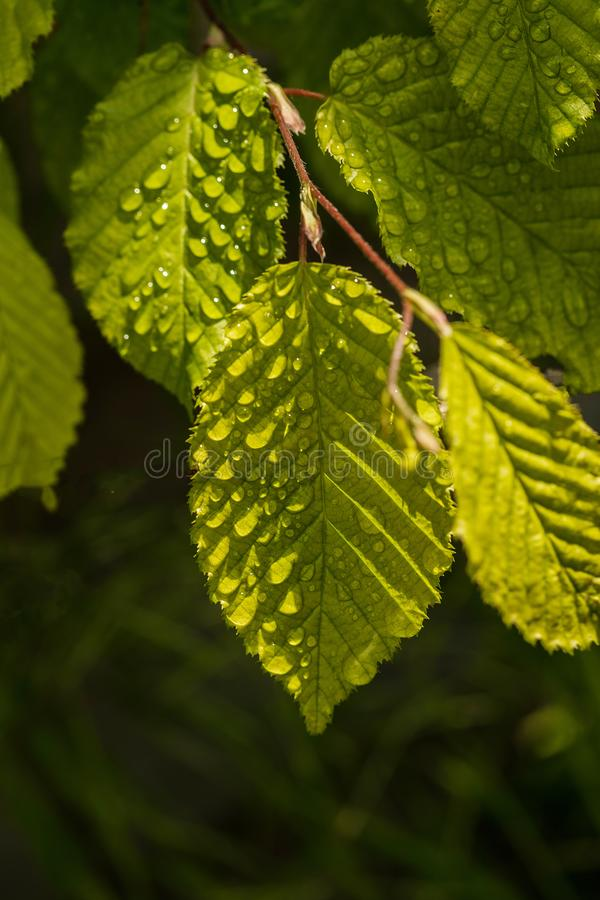Close up of dew drops on a green leaf. In the garden on a sunny day.  macro frame stock images