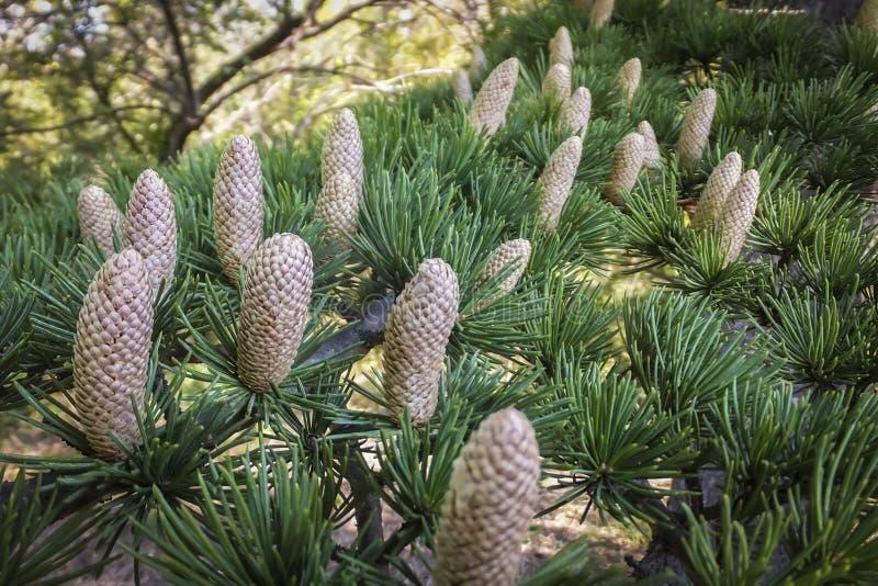 Close-up die mannelijke kegels op de takken van Cedar Tree Cedrus-libani of de Ceder van Libanon kweken stock foto's
