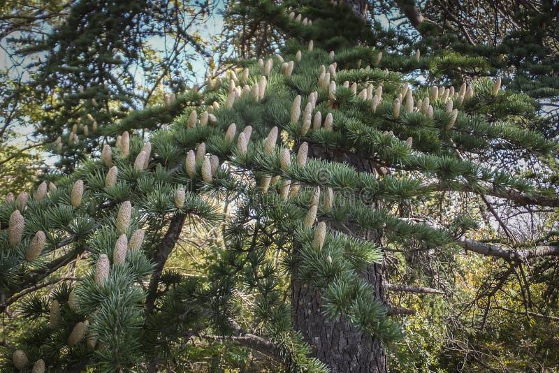 Close-up die mannelijke kegels op de takken van Cedar Tree Cedrus-libani of de Ceder van Libanon kweken royalty-vrije stock foto's