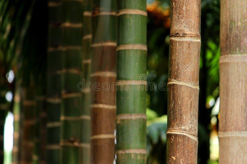 Close-up die van Arekanootboom wordt geschoten stock afbeelding