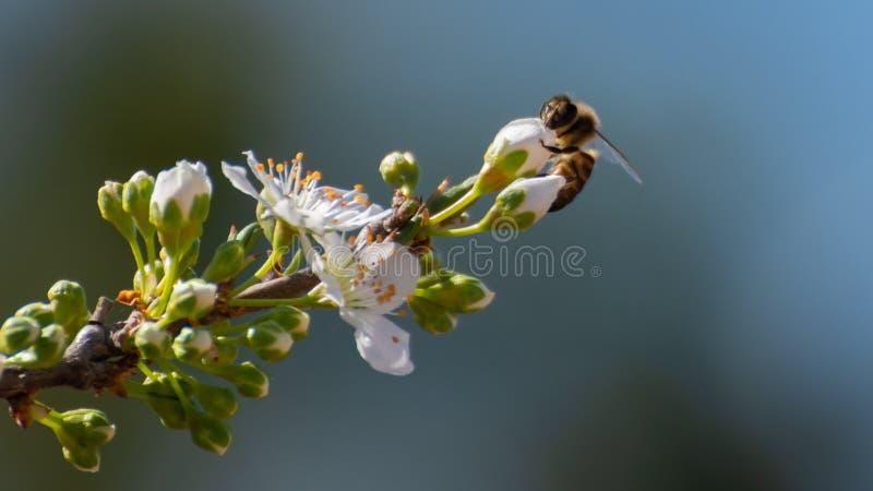 Close-up die van bij stuifmeel op witte pruimbloemen verzamelen de lente achtergrond de Lentetijd royalty-vrije stock foto's