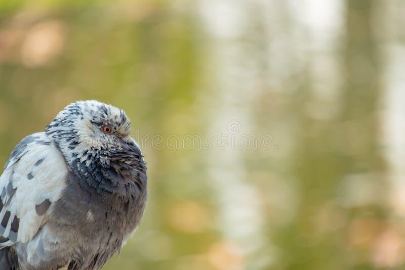 Close-up die van duif zijn hals rimpelen stock afbeeldingen