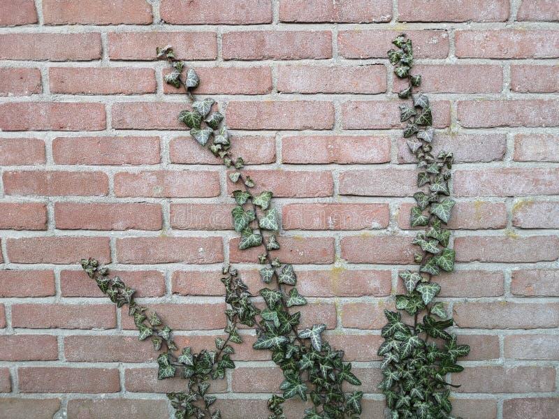 Close-up die van Gemeenschappelijke Klimop een muur groeien stock foto