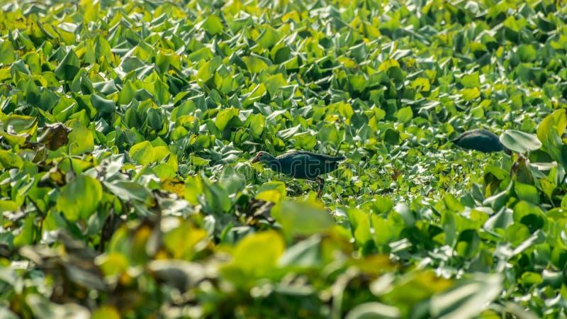 Close-up die van Waterhoen of moeraskip, een kip-gerangschikte vogel voedsel verzamelen rond het meergebied met Bloeiende Waterhy royalty-vrije stock afbeeldingen