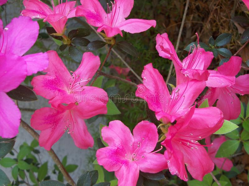 Close up of different shades of pink Azalea flowers. Closeup of a bunch of frilly Azaleas in multi shades of pink. February in Florida stock photos