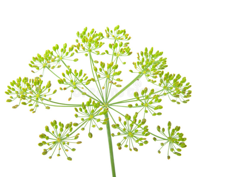 Close-up of dill royalty free stock photography
