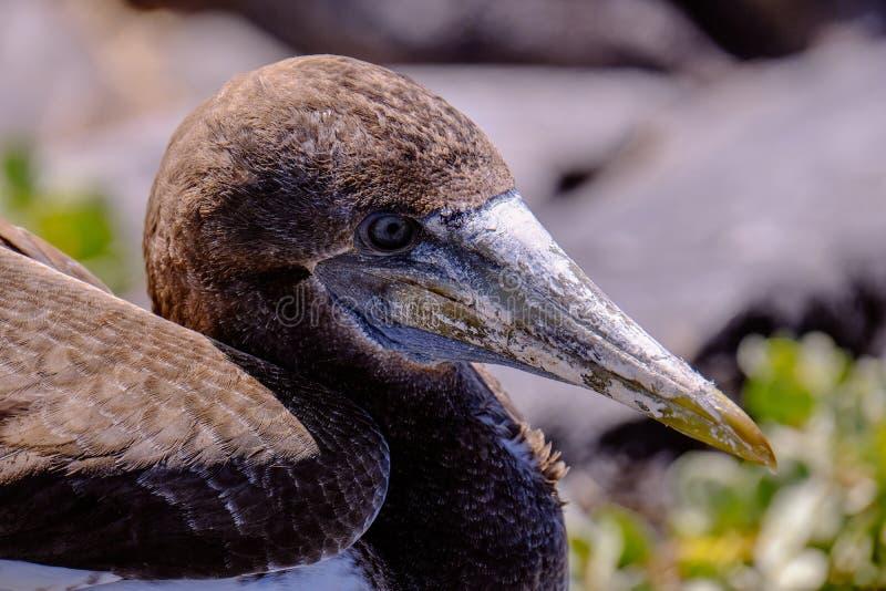 Close up disparado de um albatroz do norte que senta-se com fundo borrado fotos de stock royalty free