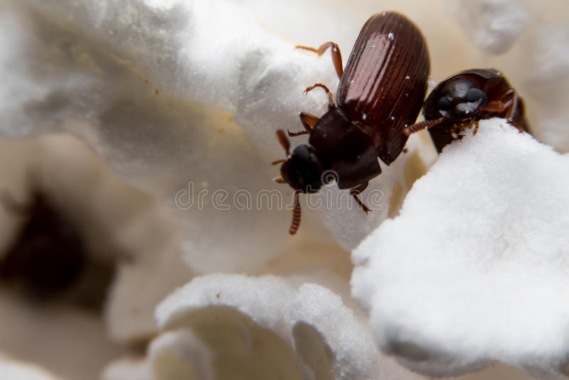 Close up disparado de um besouro de estrume da Floresta Negra imagem de stock