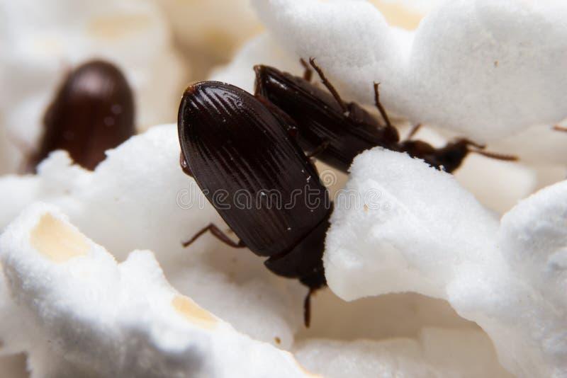 Close up disparado de um besouro de estrume da Floresta Negra imagens de stock