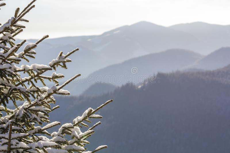 Close-up disparado do branche do pinheiro com as agulhas verdes cobertas com a neve limpa fresca profunda no espa?o azul borrado  foto de stock royalty free