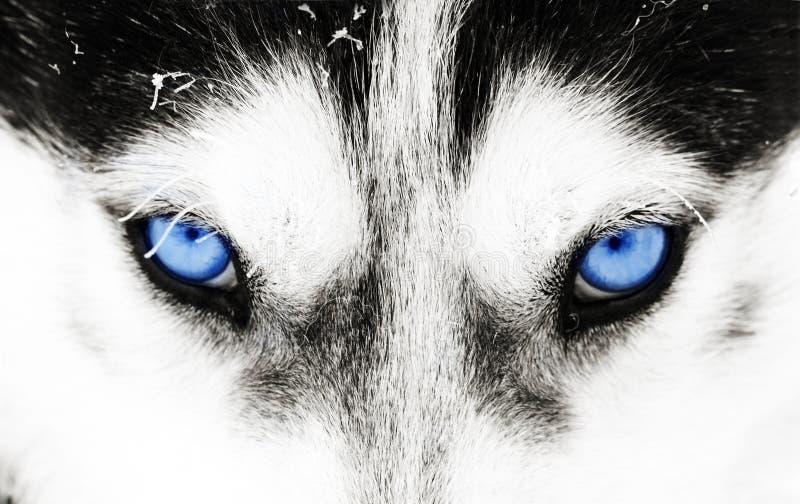 Close-up disparado dos olhos azuis de um cão do cão de puxar trenós fotos de stock