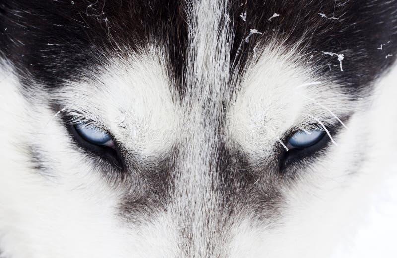 Close-up disparado dos olhos azuis roncos do cão imagem de stock royalty free