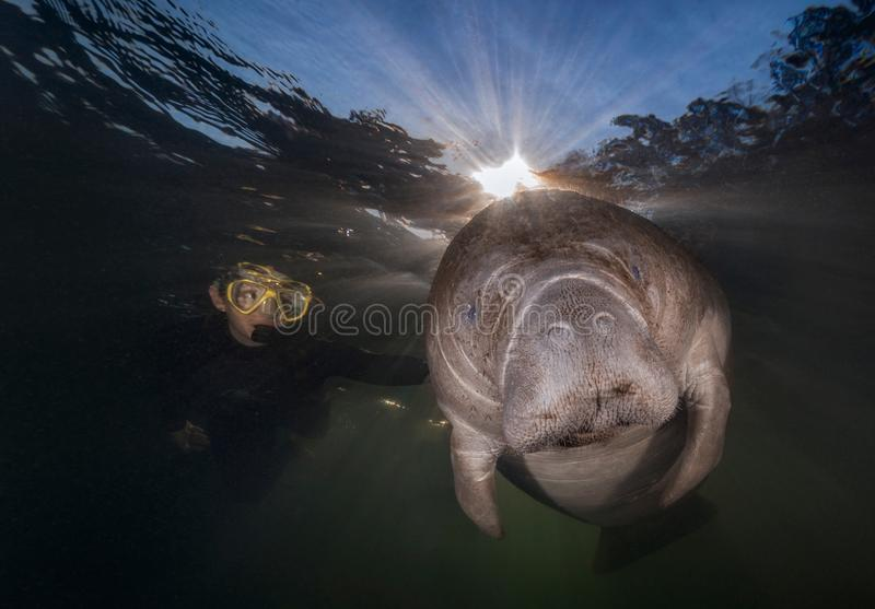 Close up of diver petting a Florida Manatee. Manatees love attention and a gentle backrub. During the winter, Manatees gather near the warm fresh water springs stock photos