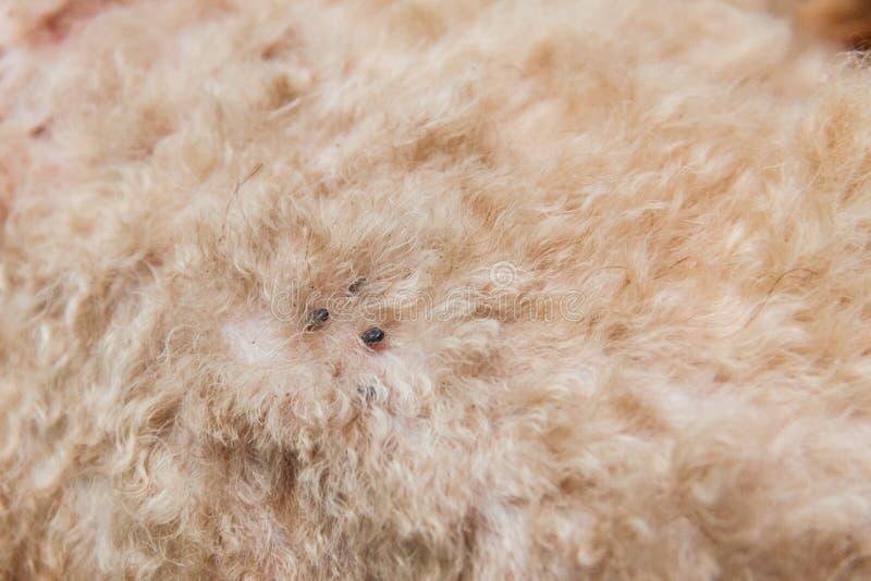 Close up do ácaro e das pulga contaminados na pele da pele do cão imagens de stock royalty free