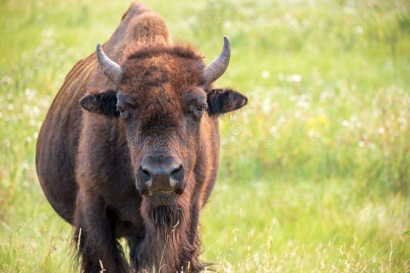 Close up do búfalo imagens de stock